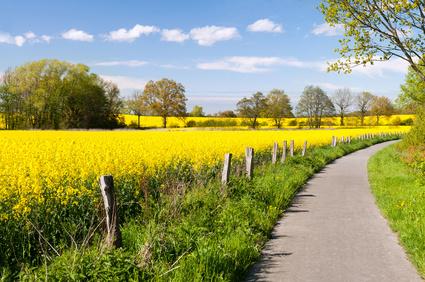 zwischen gelb leuchtenden Rapsfeldern